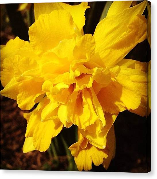 Yellow Canvas Print - Daffodils Are Blooming by Christy Beckwith