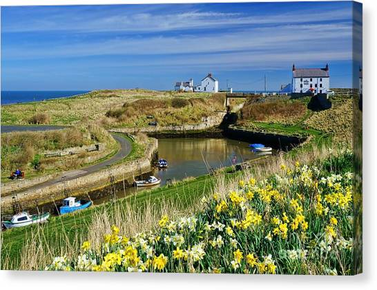 Seaton Sluice Harbour Daffodils Canvas Print