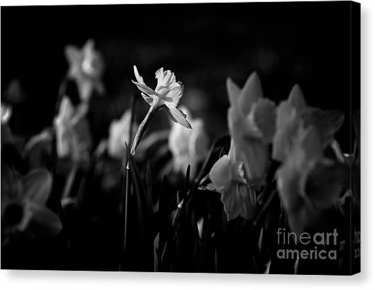 Daffodils In Black And White Canvas Print