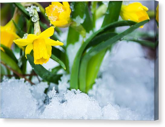 Daffodils In The Snow  Canvas Print