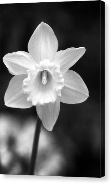 Daffodils - Infrared 10 Canvas Print
