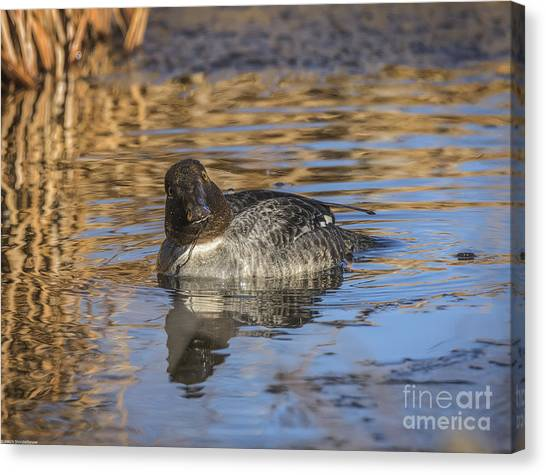 Goldeneye Canvas Print - Daffy Duck by Mitch Shindelbower