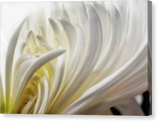 Dahlias Canvas Print - Dahlia 5 by David Rothstein