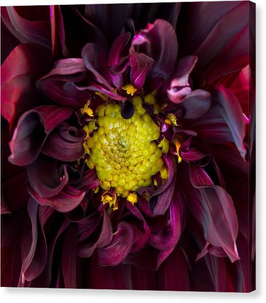 Dahlia - A Study In Crimson Canvas Print