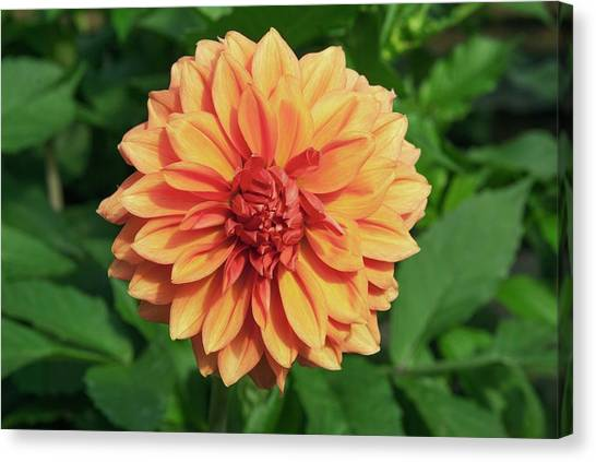 Dahlia 'askwith Lorie' Canvas Print by Adrian Thomas/science Photo Library