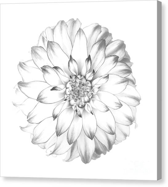 Dahlia Flower As Drawing In Black And White. Canvas Print by Rosemary Calvert