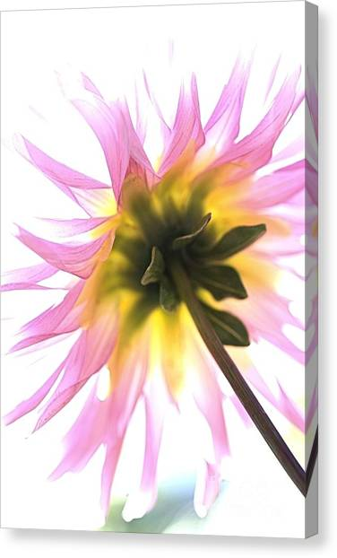 Dahlia Flower Canvas Print