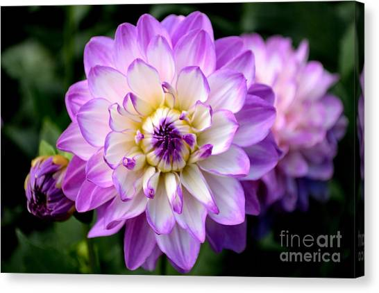 Dahlia Flower With Purple Tips Canvas Print
