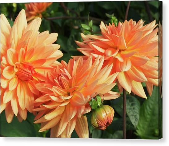 Perennial Canvas Print - Dahlia Flowers (dahlia 'shandy') by Ian Gowland/science Photo Library