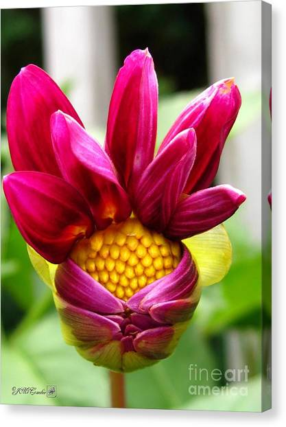 Canvas Print - Dahlia From The Showpiece Mix by J McCombie