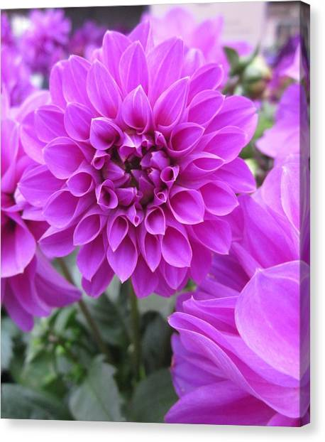 Dahlia In Pink Canvas Print