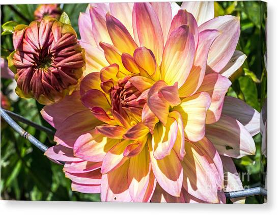 Canvas Print featuring the photograph Dahlia by Kate Brown