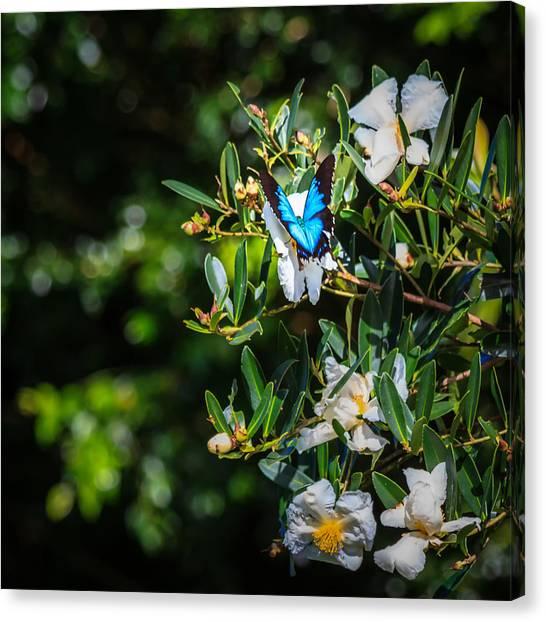Daintree Rainforest Canvas Print - Daintree Monarch Butterfly by Silken Photography