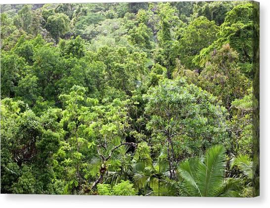 Daintree Rainforest Canvas Print - Daintree Rainforest by Ashley Cooper