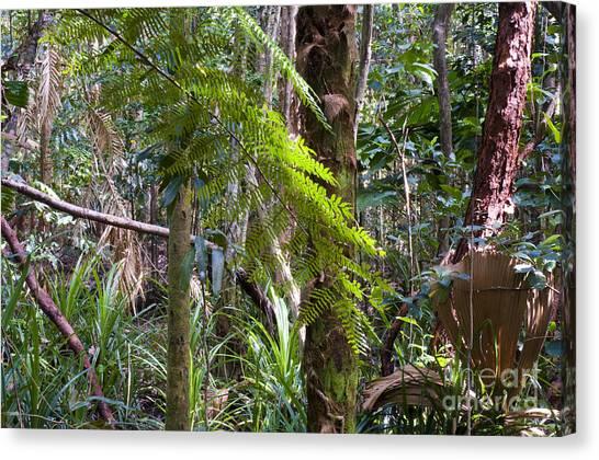 Daintree Rainforest Canvas Print - Daintree Rainforest by William H. Mullins