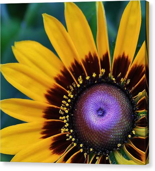 Daisey Of A Different Color Canvas Print by Bruce Bley