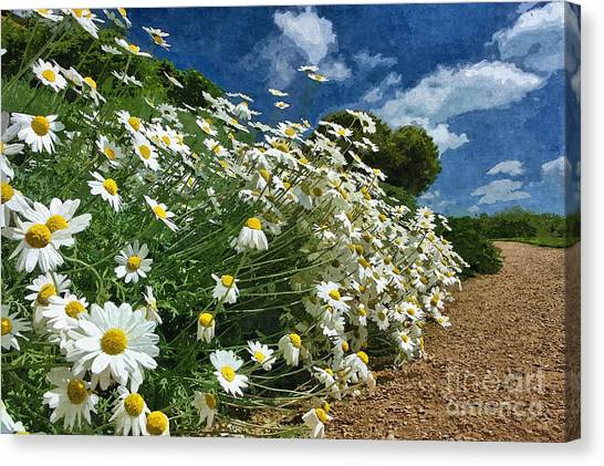 Daisies By The Path - Photo Art Canvas Print
