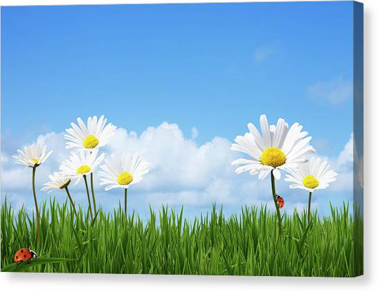 Daisies In A Summer Meadow Canvas Print by Andrew Dernie