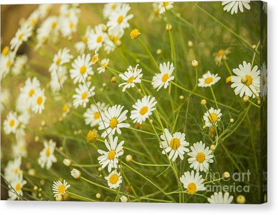 Daisies In A Summer Medow Canvas Print