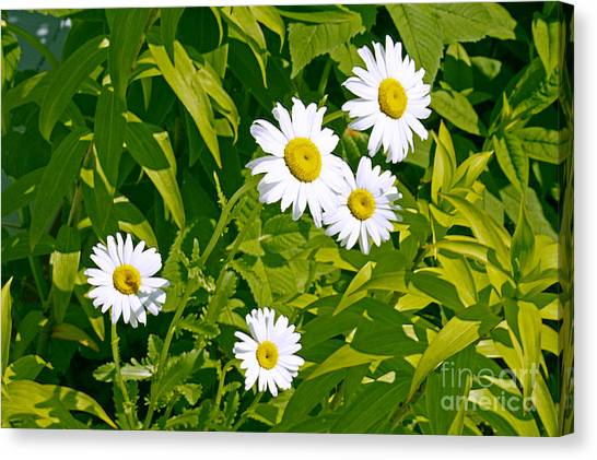Daisies In Provincetown Canvas Print