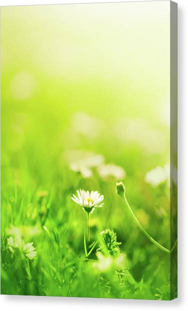 Blade Of Grass Canvas Print - Daisies In The Field by Jeja