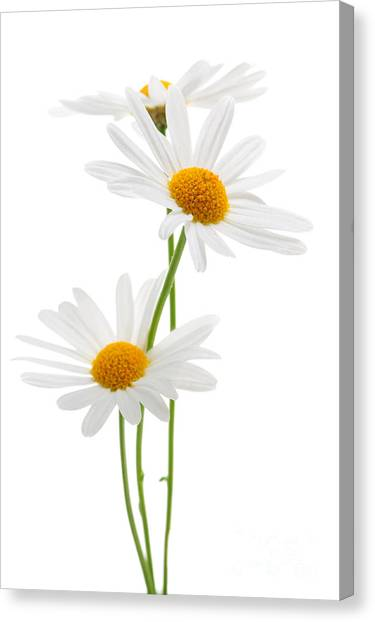 Floral Canvas Print - Daisies On White Background by Elena Elisseeva