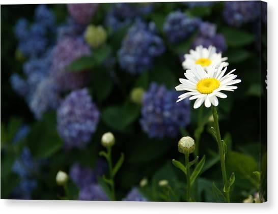 Daisy Among Hydrangeas Canvas Print by Leigh Ann Hartsfield
