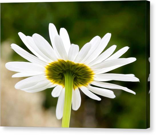 Daisy Canvas Print by Bobbi Feasel