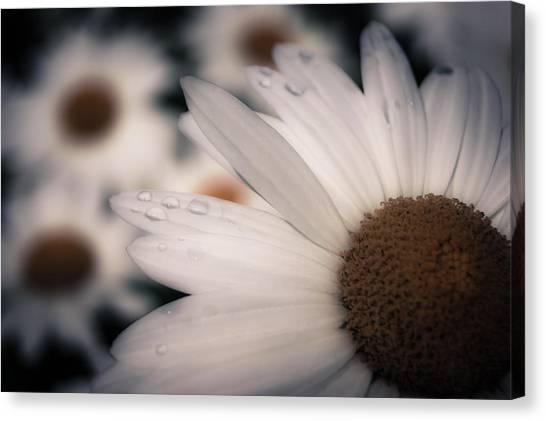 Daisy Don't Doubt Does He Love Me Does He Love Me Not Canvas Print