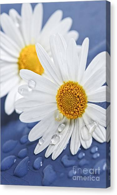 Daisy Flowers With Water Drops Canvas Print