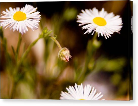 Daisy In A Field Canvas Print