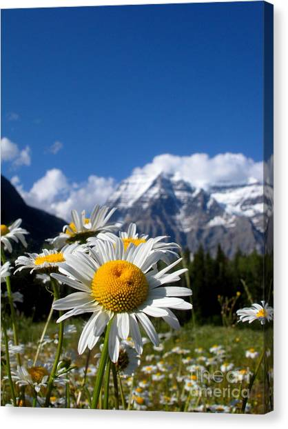 Daisy In Rocky Mountains Canvas Print by Sophia Elisseeva