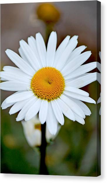 Daisy In The Morning Canvas Print by Andrew Chianese