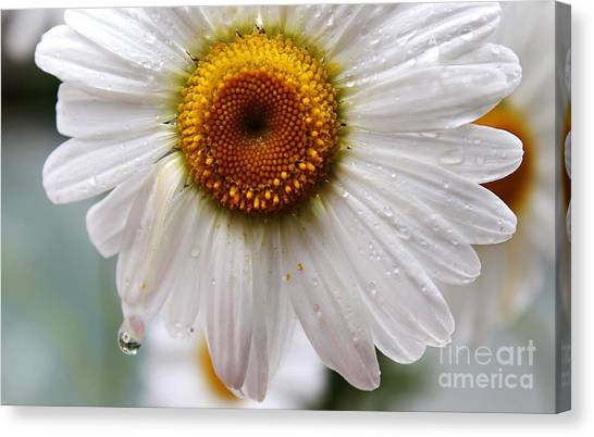 Daisy Reflect Canvas Print