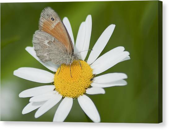 Daisy's Visitor Canvas Print