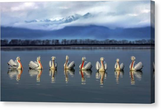 Dalmatian Pelicans Meeting Canvas Print by Xavier Ortega