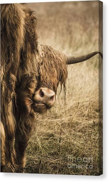 Highland Cow Damn Fleas Canvas Print