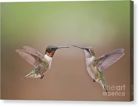 Dance Of The Hummingbirds Canvas Print