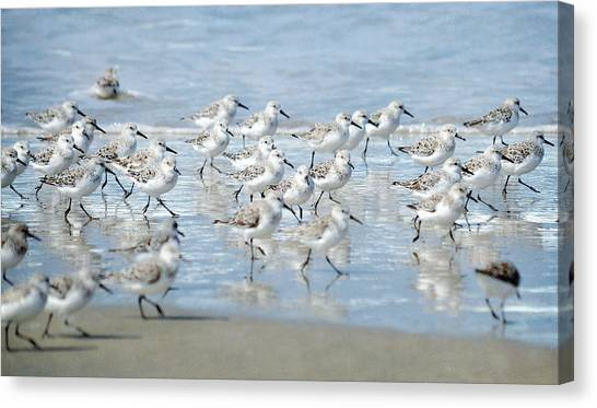 Dance Of The Sandpipers Canvas Print