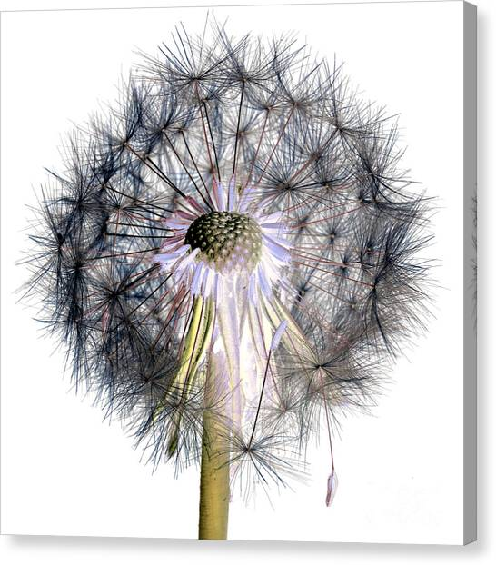 Dandelion Clock No.1 Canvas Print