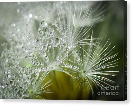 Dandelion Dew Canvas Print