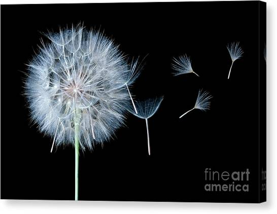 Dandelion Dreaming Canvas Print