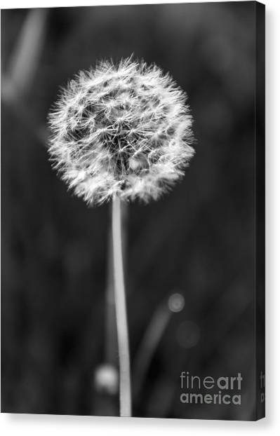 Dandelion In The Sun Canvas Print
