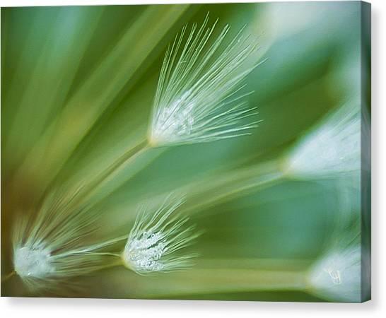 Dandelion Plume Canvas Print