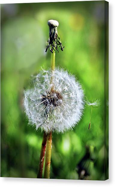 Dandelion Released Canvas Print