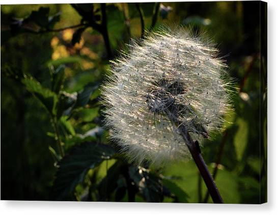 Canvas Print - Dandelion Seeds Ready To Be Dispersed by Al Petteway & Amy White