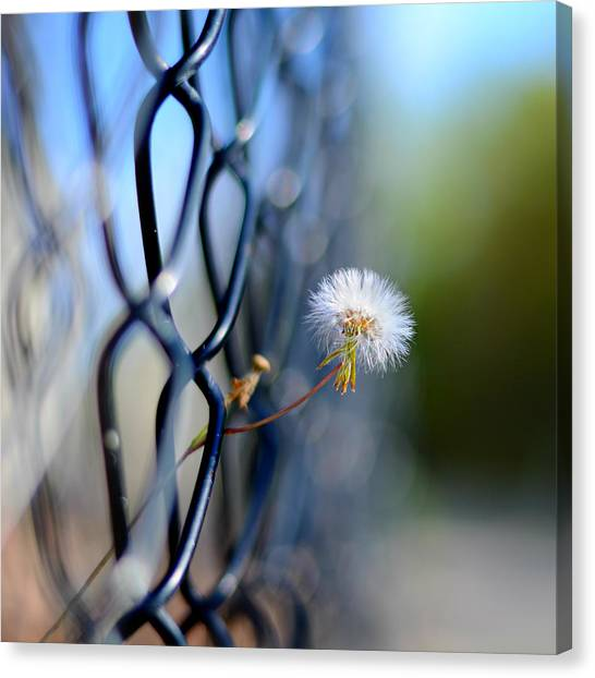 Chain Link Fence Canvas Print - Dandelion Wish by Laura Fasulo