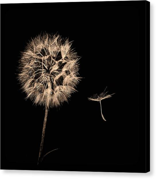 Dandelion With Seed Canvas Print