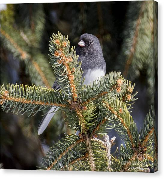 Dark-eyed Junco  Canvas Print by Ricky L Jones