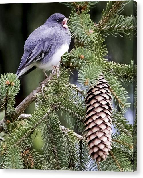 Dark-eyed Junco Speaks Out Canvas Print